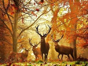 ciervos